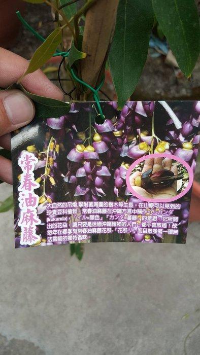 ╭*田尾玫瑰園*╯新品種藤類-(常春油麻藤)3尺高600元