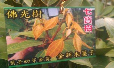 樹苗--佛光樹 8  吋盆  ( 金新玉薑子 , 七寶樹 )