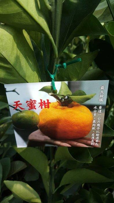 ╭*田尾玫瑰園*╯水果苗-(天蜜柑)4吋80cm300元
