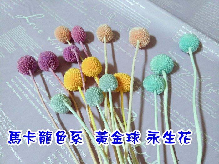 馬卡龍色系  黃金球 永生花 金仗球  金丈球  乾燥花 花束 diy 花材 乾燥花素材  朵希幸福烘焙