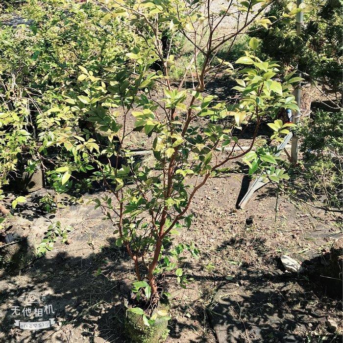 紅妃四季樹葡萄