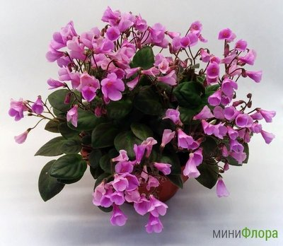 沃野螢花-Flashy Trail   非洲紫羅蘭 非洲菫 非洲堇