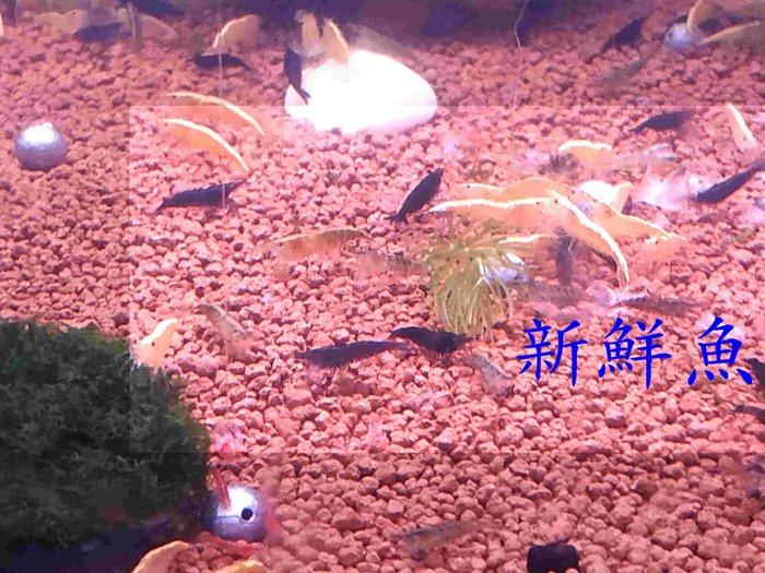~新鮮魚水族館~實體店面 超黑 巧克力蝦 飼料蝦 5隻100 歡迎自取