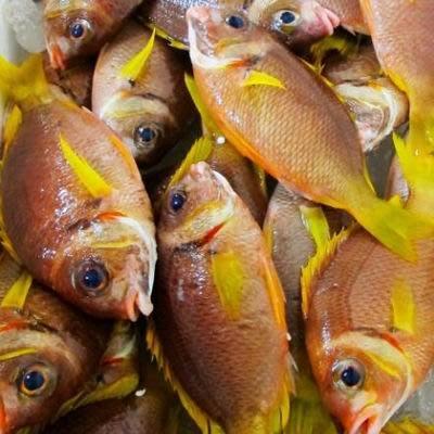 【澎湖國光魚-約2斤/組】新鮮魚貨乾淨處理產地直送(秤重計價)-2501003