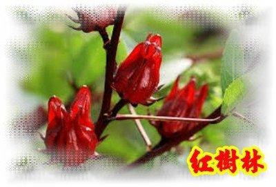 【紅樹林】洛神花種子--30顆50元