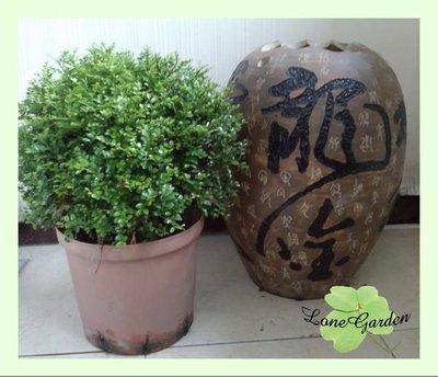 ~長榮~~【細葉七里香】圓球型φ30cm 月橘 芸香科植物 庭園灌木 香花植物