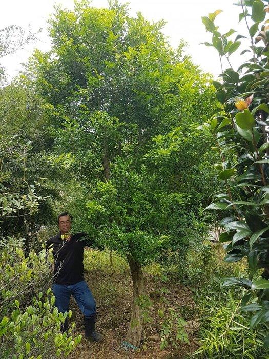 (青山園藝) 七里香 月橘  米俓15~20cm 高度5~6米 培養多年己原樹型