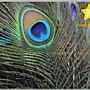 星星- 天然手工服裝DIY-25-30CM-純天然孔雀羽毛-原住民/部落風/土著/飾品服飾加工-每隻12元