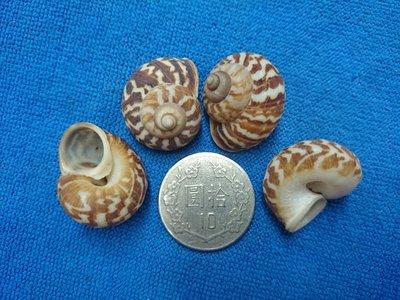 【鑫寶貝】貝殼DIY 大山蝸牛 口徑0.5~0.8cm DIY貼圖 拍照擺設、開店擺設、鏤空桌面擺設  四顆30元