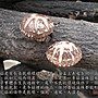 ~中大朵台灣段木花菇(半斤裝)~ 保證是台灣花菇,量少稀有,超Q超好吃。【豐產香菇行】