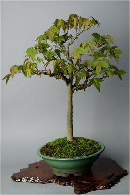 【小樹安每】日本唐楓    小品盆栽