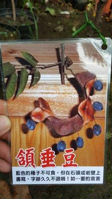 ╭*田尾玫瑰園*╯新品種樹苗.(頷垂豆)高1尺.450元/株