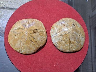 海星化石擺件純天然億年化石2個一標