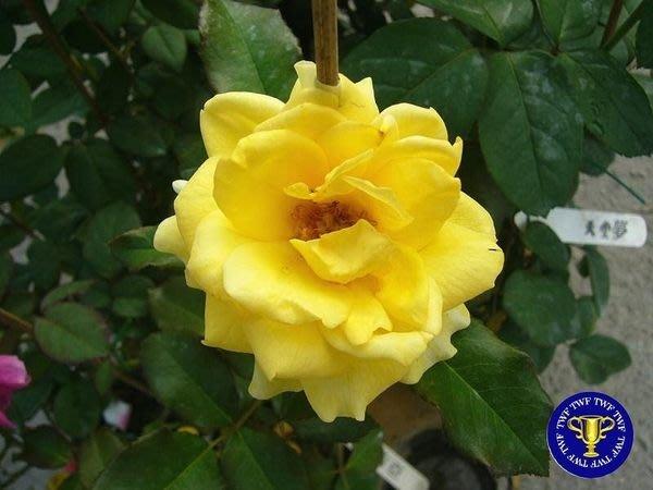 ╭*田尾玫瑰園*╯玫瑰花--福利吉亞.Friesia