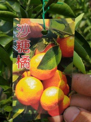 李家果苗 沙糖橘 砂糖橘 9吋盆 掛果 高度60-70公分 單價400元