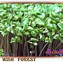 WISH FOREST【種子盆栽~ 春不老】種子100顆3...