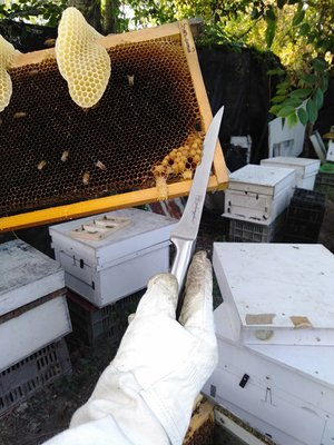養蜂工具 不鏽鋼 白鐵 割蜜刀  生魚片刀 查蜂 搖蜜 割封蓋蜜 好幫手