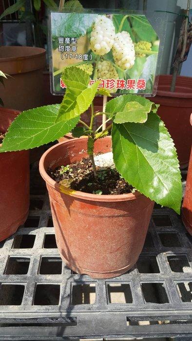 ╭*田尾玫瑰園*╯水果苗-(大白珍珠果桑)15cm800元