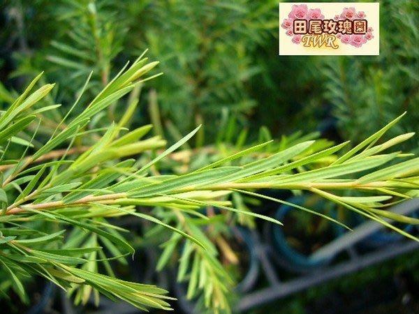 ╭*田尾玫瑰園*╯庭園用樹(澳洲茶樹)--製成的茶樹精油是熱門商品