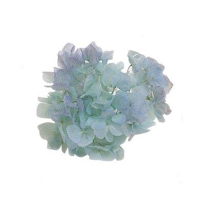 ღ萊姆森林【Preserved 藍色雙色繡球(1盒)】現貨【DT064193】