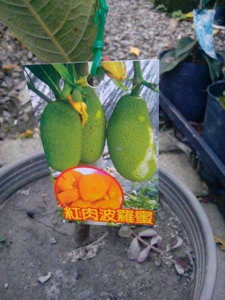 ╭*田尾玫瑰園*╯新品種水果苗-(紅肉波蘿蜜)高50-60cm180元