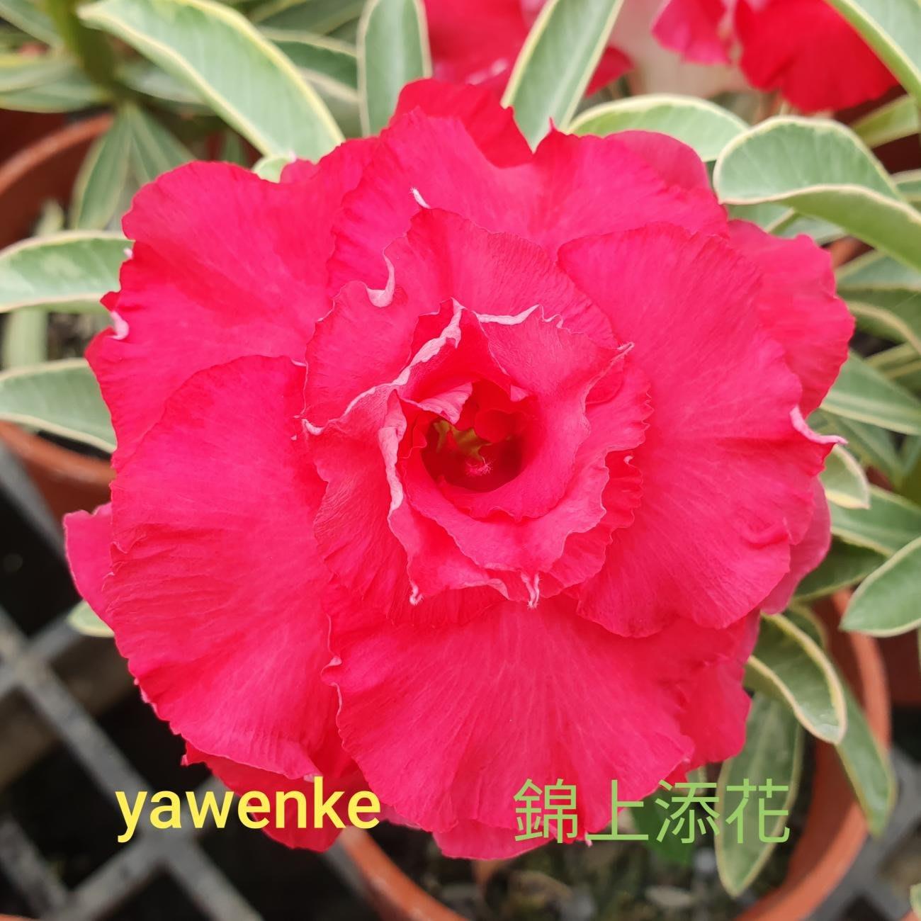 欣采園藝   沙漠玫瑰   富貴花   耐旱植物   重瓣品種~~錦上添花