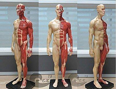 【易發生活館】美術用品繪畫參考素材3dmax設計CG參考雕塑人體結構靜態模型