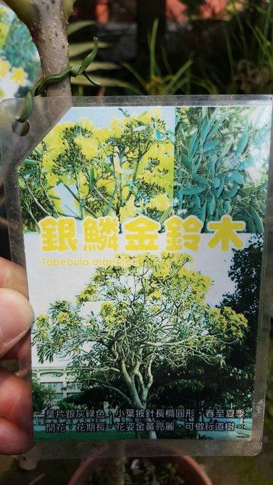 ╭*田尾玫瑰園*╯新品種樹苗-(銀鱗金鈴木)高50cm900元/株
