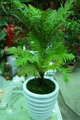 花花世界_蕨類植物--美人蕨--**富貴蕨**/7/8吋/桿高20-30CM/ TC