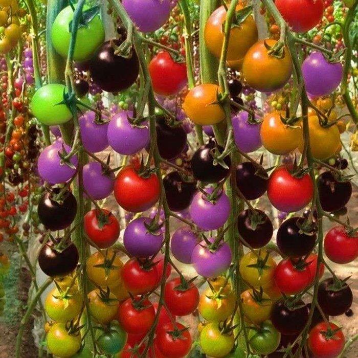 【大包裝蔬菜種子】多彩瀑布番茄~~多彩多汁,颜值爆表!