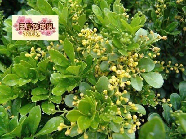 ╭*田尾玫瑰園*╯優良香花植物--(球型樹蘭)35*35cm400元.1箱可裝3株