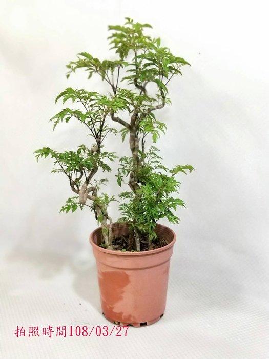 易園園藝- 羽葉福祿桐樹F27(福貴樹/風水樹)室內盆栽小品/盆景高約60公分