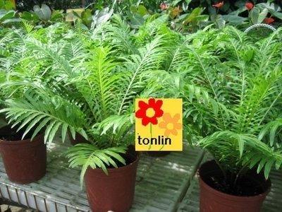 ╭☆東霖園藝☆╮超優質蕨類---美人蕨(富貴蕨)---缺貨中