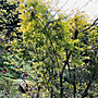 茶樹/茶樹精油/精油/澳洲茶樹/天然茶樹/茶樹抗菌/防菌