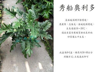心栽花坊-秀船奧利多/奧利多蔓綠絨/8吋/綠化植物/室內植物/觀葉植物/售價500特價400
