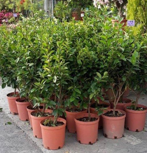 綠籬植物 ** 含笑花 ** 8吋盆/ 高50-60公分高/ 帶有香蕉的香氣【花花世界玫瑰園】R
