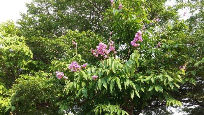 ╭*田尾玫瑰園*╯庭園用樹-(大花紫薇)大花紫葳-米徑15cm18000元