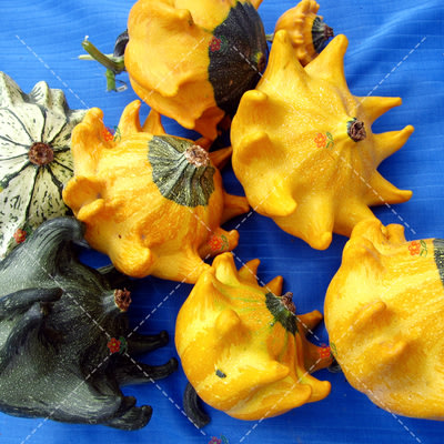 【小鮮肉肉】玩具南瓜種子-上帝(皇冠型混色)(5粒裝) 可食用 庭院陽台易種