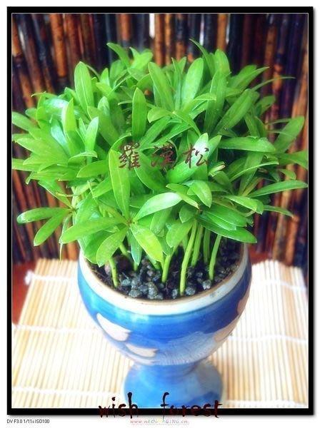 希望森林【種子盆栽專用種子~~羅漢松 】 40顆30元 好種,新手入門,精典必種
