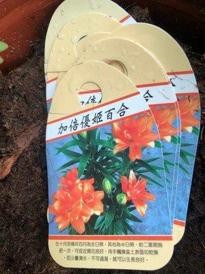 花花世界_季節花卉*加倍優姬百合*花多易開/6吋盆/高15-30cm/MA