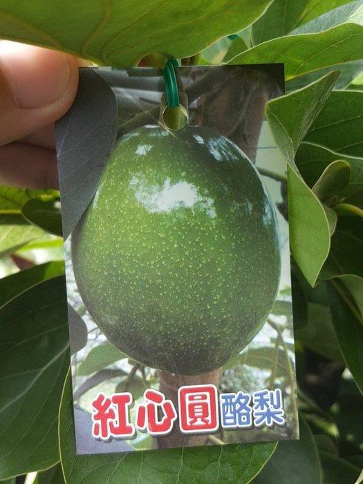 ╭*田尾玫瑰園*╯水果苗-(紅心圓酪梨)移植袋高120cm1200元