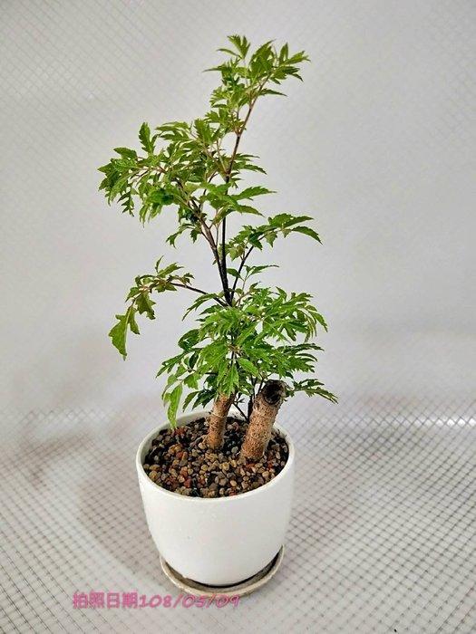 易園園藝- 羽葉福祿桐樹F48(福貴樹/風水樹)室內盆栽小品/盆景高約23公分