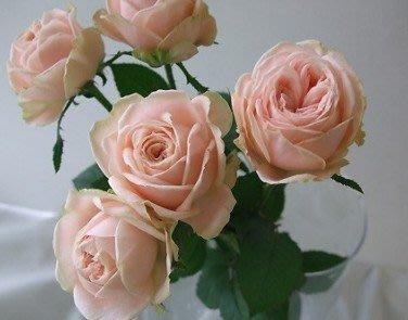 雛(雛鳥)。悠遊山城(創始店)5-6吋盆玫瑰~特價180~任選3盆420