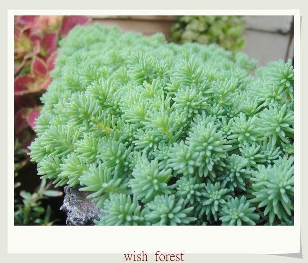 WISH FOREST【多肉植物。薄雪萬年草】。頂樓最佳地被植物~盆栽盆景點綴盆土素材