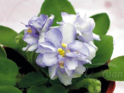 堤緣花語陶-淨化室內空氣植物-非洲紫羅蘭 Misty Miss