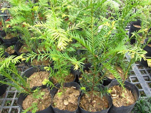 ╭*田尾玫瑰園*╯ 珍稀樹種-(紅豆杉)實生苗-高20-25cm