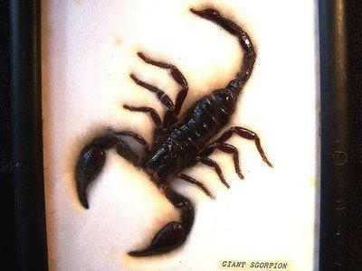 [ 轟動台客 驚動阿陸 傳說中的 巨蠍 標本 ]-天蠍座 可收藏當守護聖物.