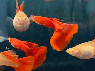 🐠🐠牧谷牧魚🐠🐠 特選全紅白子 孔雀魚
