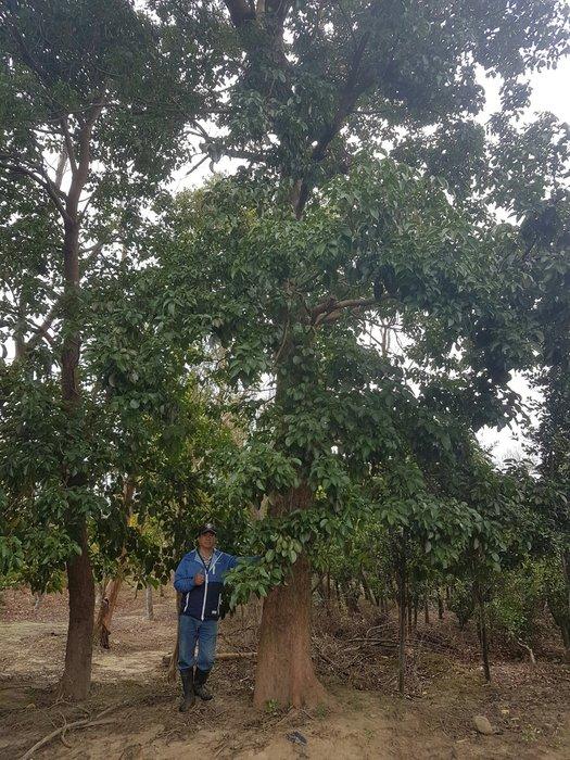 (青山園藝) 茄苳 米徑約50cm 高度約12米 真柏桂花黑松紫檀油杉青楓象牙木真柏