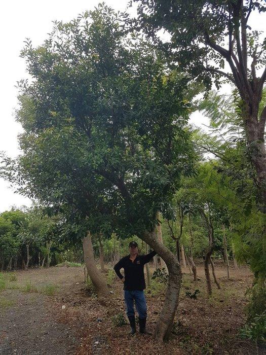 (青山園藝) 飄逸型楠木 米徑約25cm.桂花含笑風鈴木梔子花羅漢松流蘇